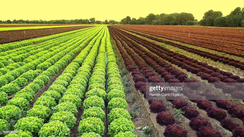 Scenic View Of Lettuce Farm Against Sky During Sunset : Stock Photo