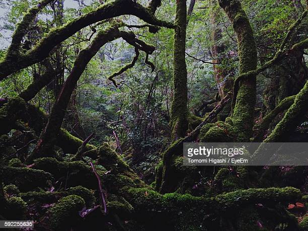 Scenic View Of Moss On Tree Trunks In Rainforest