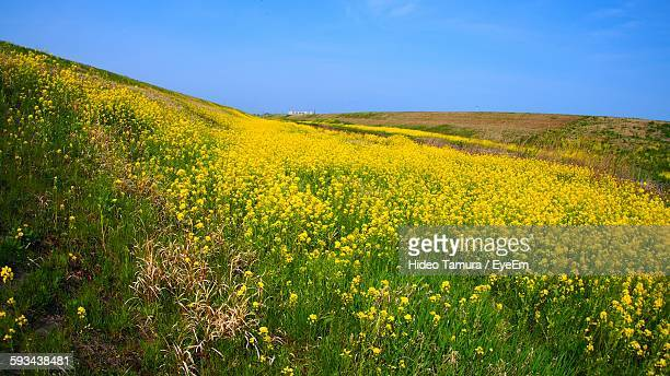 scenic view of oilseed rape against clear sky - 茨城県 ストックフォトと画像