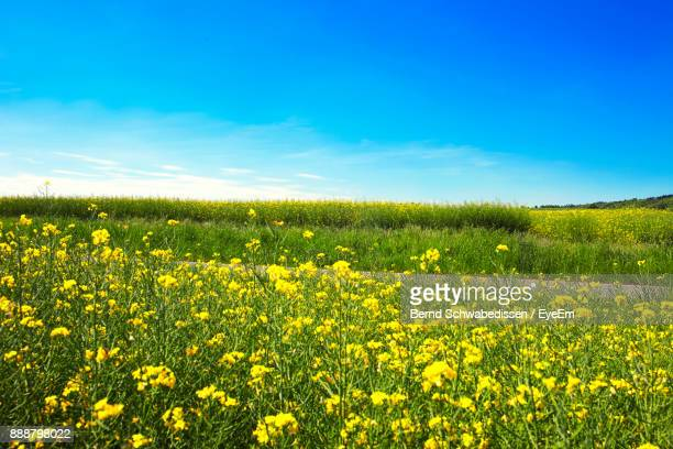 scenic view of oilseed rape field against blue sky - brassica stock photos and pictures