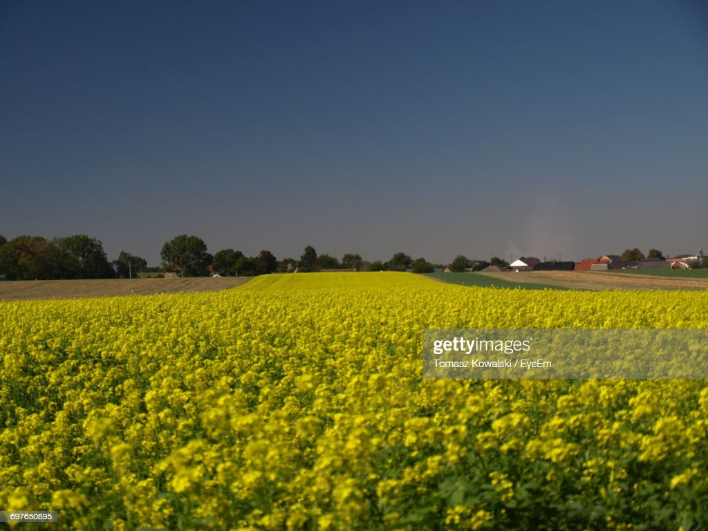 Scenic View Of Oilseed Rape Field Against Clear Blue Sky : Stock Photo