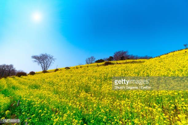 scenic view of oilseed rape field against clear blue sky - 千葉市 ストックフォトと画像