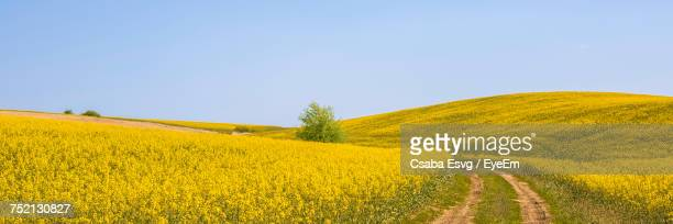 Scenic View Of Oilseed Rape Field Against Clear Sky