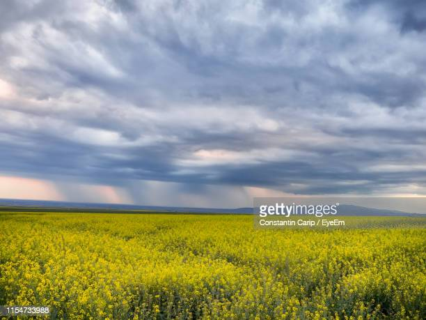 scenic view of oilseed rape field against cloudy sky - crucifers stock pictures, royalty-free photos & images