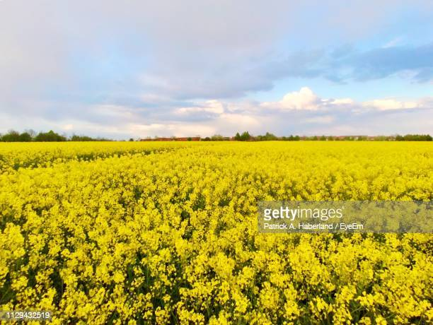 scenic view of oilseed rape field against sky - bad homburg stock pictures, royalty-free photos & images