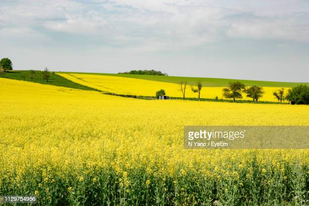 scenic view of oilseed rape field against sky - brassica stock photos and pictures
