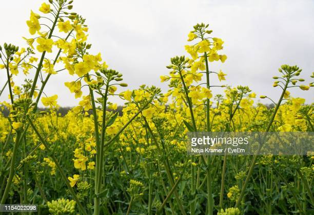 scenic view of oilseed rape field against sky - crucifers stock pictures, royalty-free photos & images