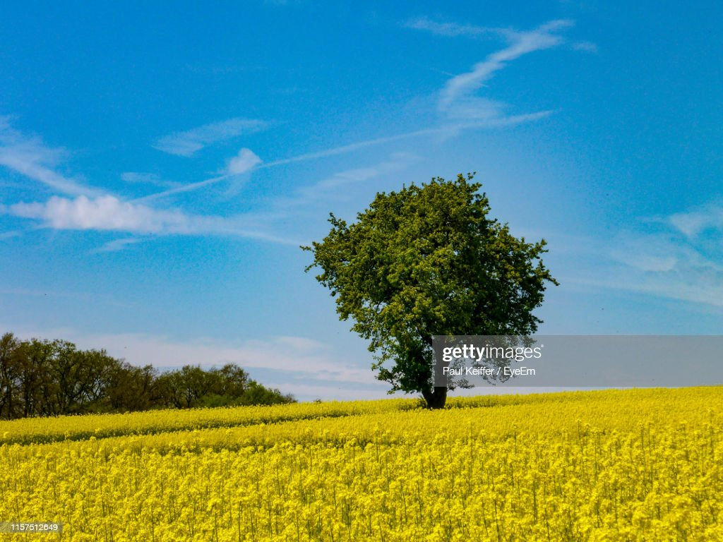 Scenic View Of Oilseed Rape Field Against Sky : Stock Photo
