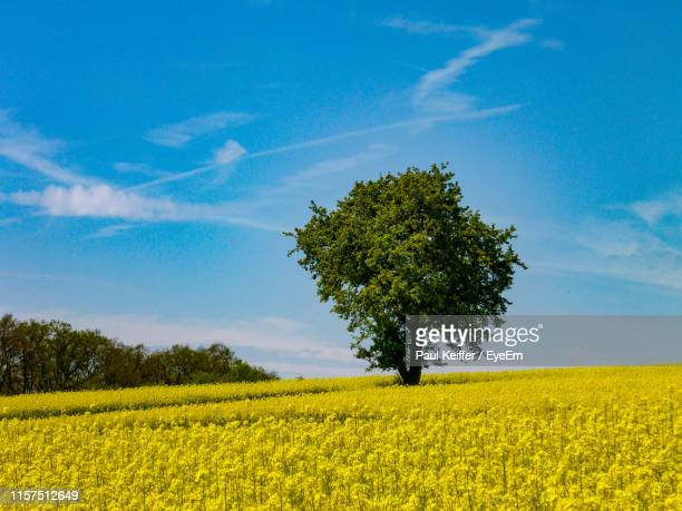 scenic view of oilseed rape field against sky - keiffer stock pictures, royalty-free photos & images