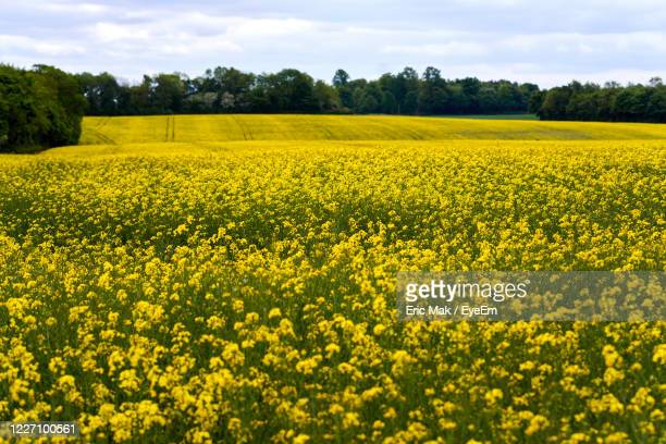 scenic view of oilseed rape field against sky - field stock pictures, royalty-free photos & images