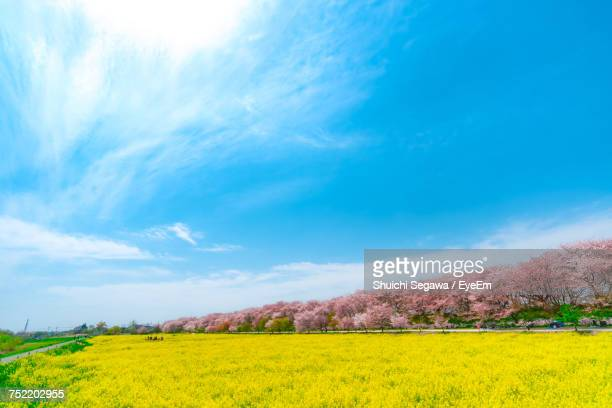 scenic view of oilseed rape field against sky - saitama prefecture stock pictures, royalty-free photos & images
