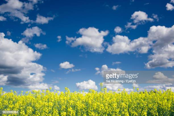 scenic view of oilseed rape field against sky - tamworth australia stock pictures, royalty-free photos & images