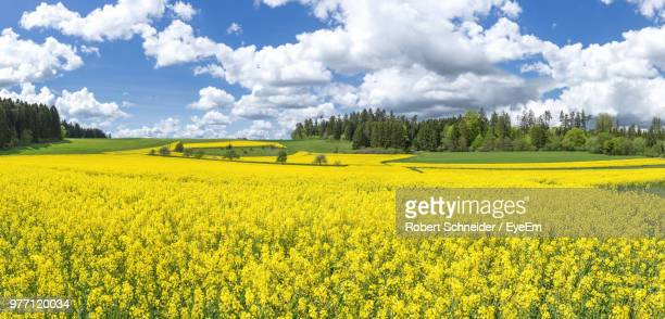 scenic view of oilseed rape field against sky - oilseed rape stock pictures, royalty-free photos & images