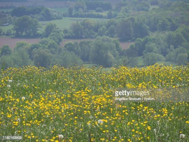 scenic view of oilseed rape field - crucifers stock pictures, royalty-free photos & images