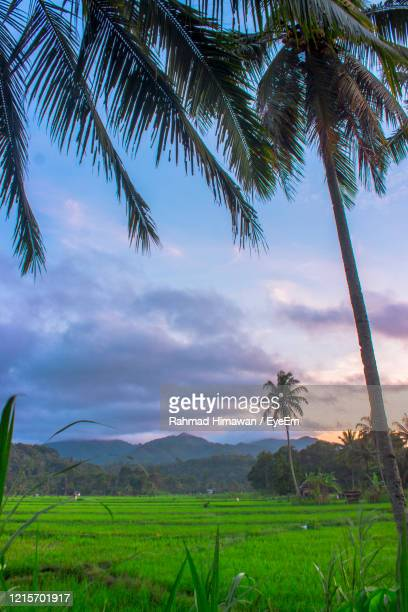 scenic view of palm trees on field against sky - rahmad himawan stock pictures, royalty-free photos & images