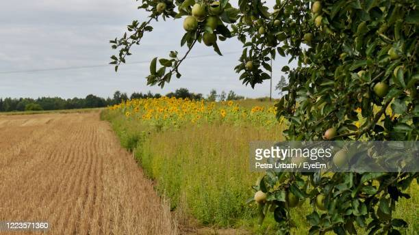 scenic view of part of apple tree with view to harvested field and sunflower field - obstbaum stock-fotos und bilder