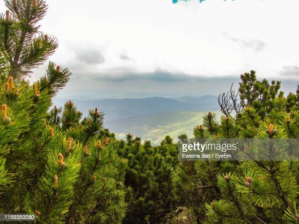 scenic view of pine trees against sky - babia góra mountain stock pictures, royalty-free photos & images
