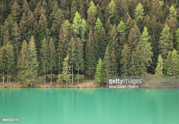Scenic View Of Pine Trees By Lake