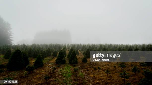scenic view of pine trees growing in farm against sky during foggy weather - christmas tree farm stock pictures, royalty-free photos & images