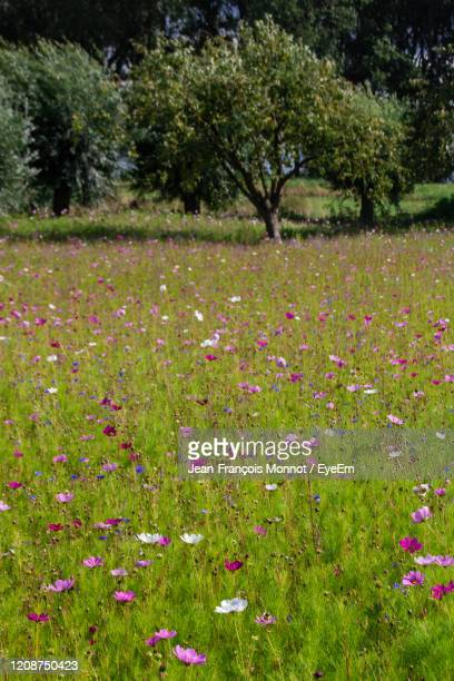 scenic view of pink flowering plants on land - damme stock pictures, royalty-free photos & images