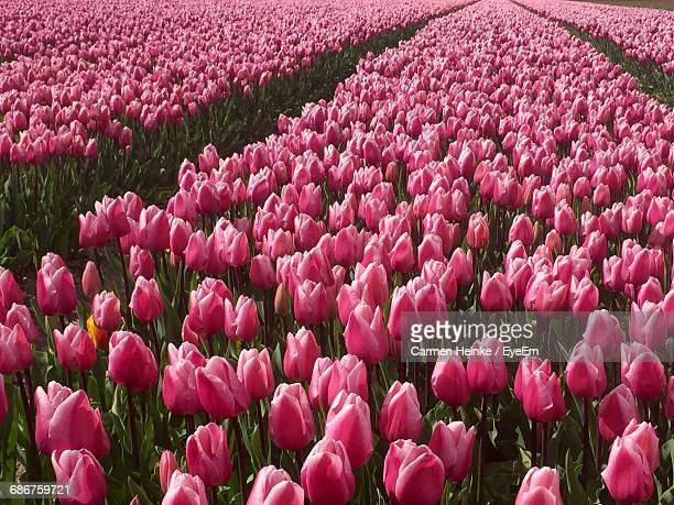 Scenic View Of Pink Tulips Blooming On Field