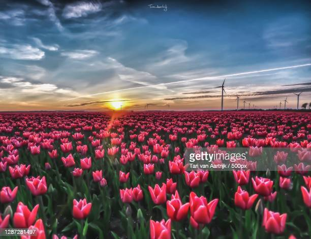 scenic view of pink tulips on field against sky,zeewolde,netherlands - tari stock pictures, royalty-free photos & images