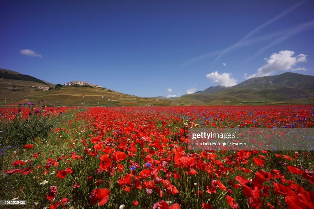 Scenic View Of Red Flowering Plants Against Blue Sky : Foto stock