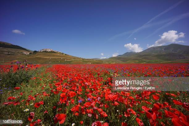 scenic view of red flowering plants against blue sky - loredana perugini stock pictures, royalty-free photos & images