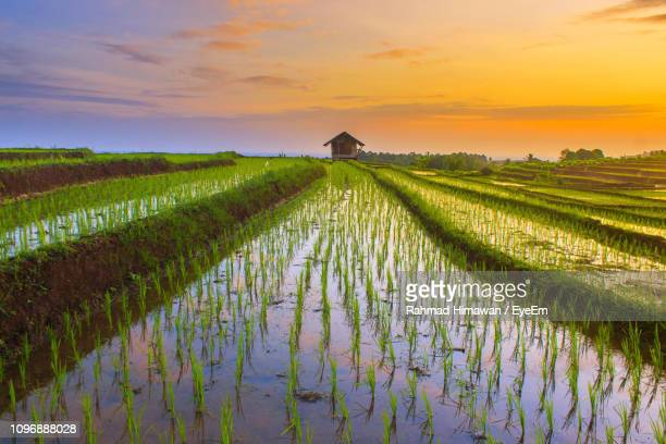 scenic view of rice field against sky during sunset - rahmad himawan fotografías e imágenes de stock