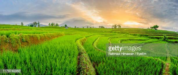 scenic view of rice field against sky during sunset - rahmad himawan stock photos and pictures