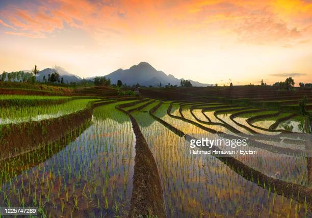 scenic view of rice field against sky during sunset - rahmad himawan stock pictures, royalty-free photos & images