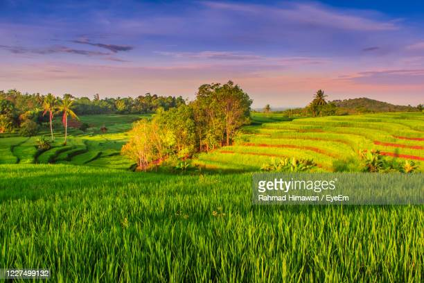 scenic view of rice field against sky - rahmad himawan stock pictures, royalty-free photos & images