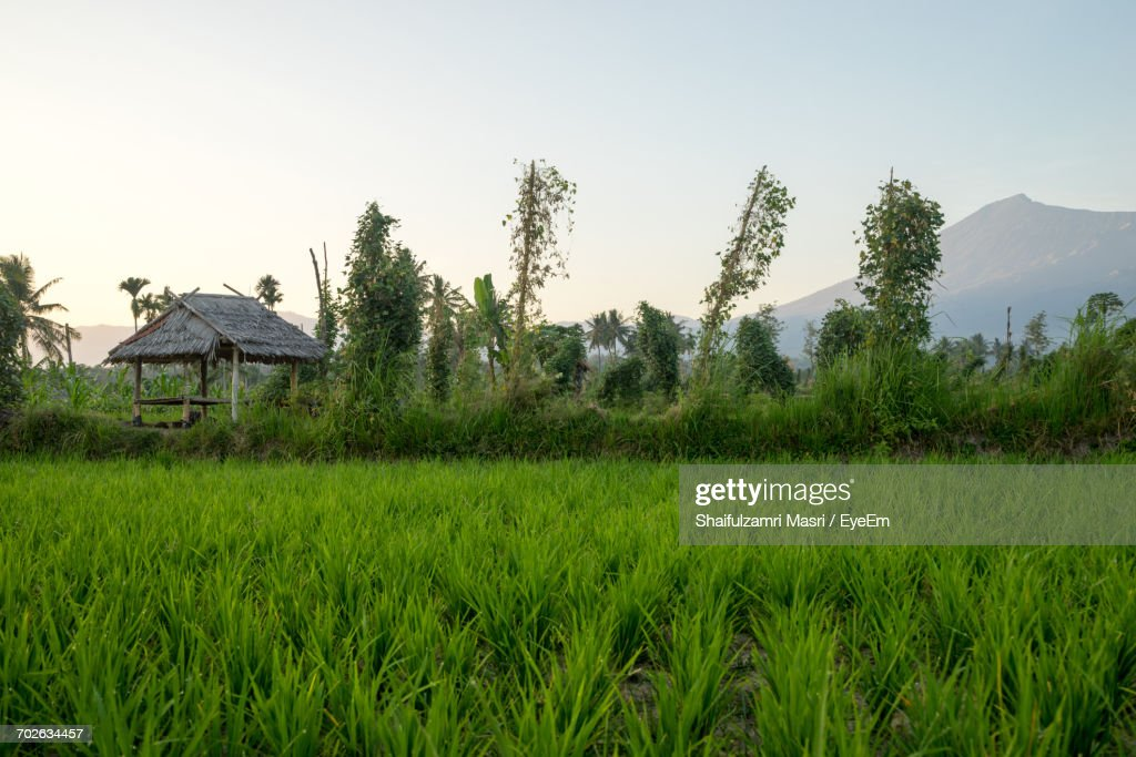Scenic View Of Rice Field Against Sky : Stock Photo