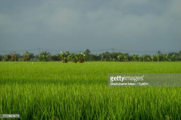 scenic view of rice field against sky - shaifulzamri foto e immagini stock