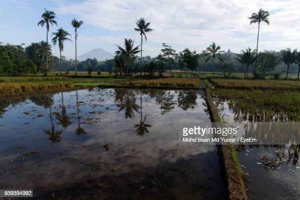 scenic view of rice field against sky - yogyakarta stock photos and pictures