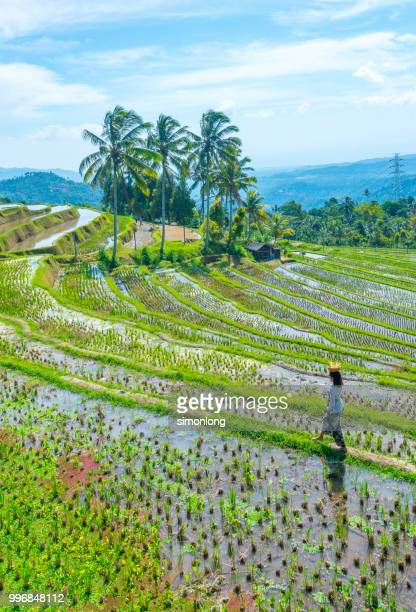 Scenic view of rice field in Bali, Indonesia