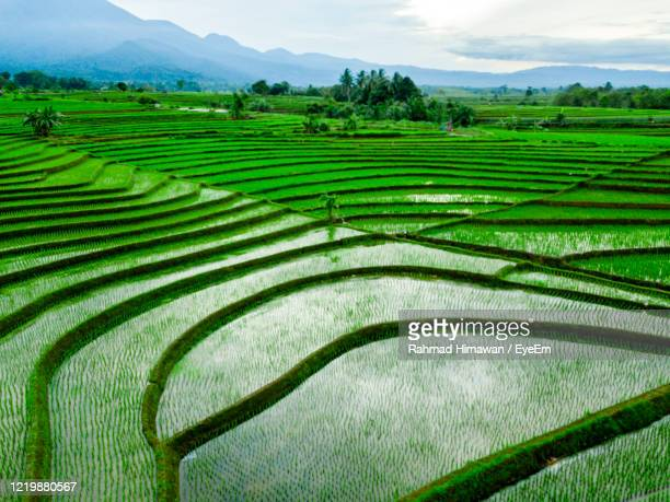 scenic view of rice field - rahmad himawan stock pictures, royalty-free photos & images