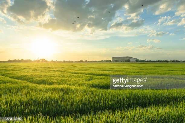scenic view of rice fields against sky during sunset - reisterrasse stock-fotos und bilder