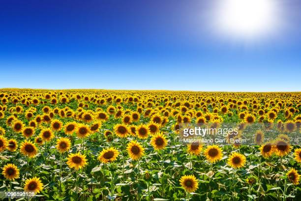 scenic view of sunflower field against clear sky - sunflower stock pictures, royalty-free photos & images