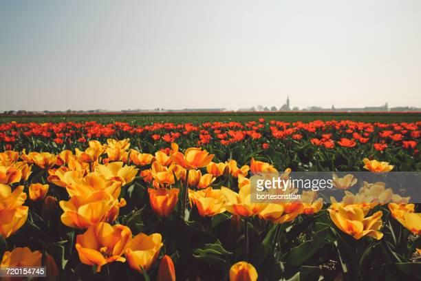 scenic view of sunflower field against clear sky - bortes bildbanksfoton och bilder