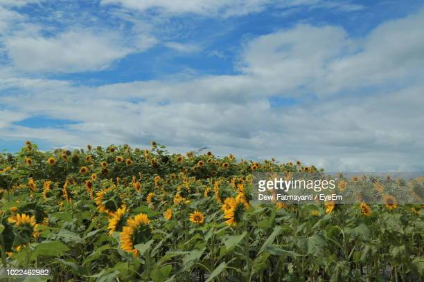scenic view of sunflower field against cloudy sky - dewi fatmayanti stock photos and pictures