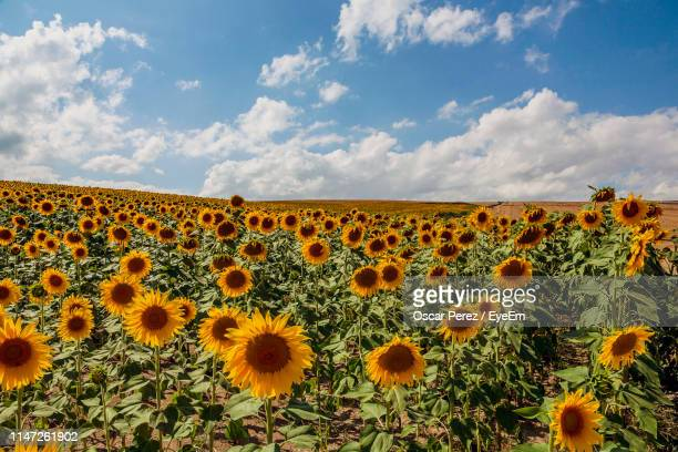 scenic view of sunflower field against cloudy sky - castilla leon fotografías e imágenes de stock