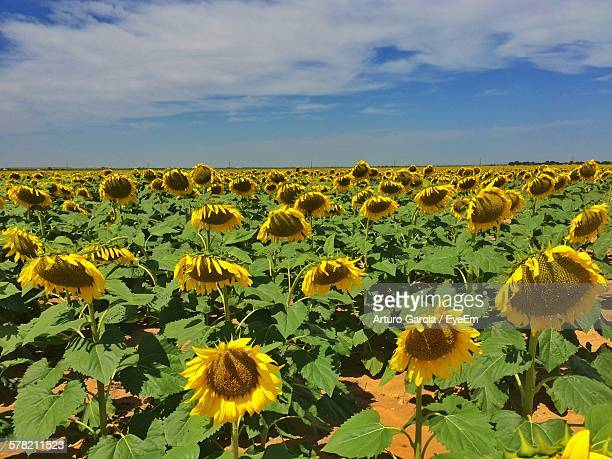 scenic view of sunflower field against sky - lubbock stock pictures, royalty-free photos & images
