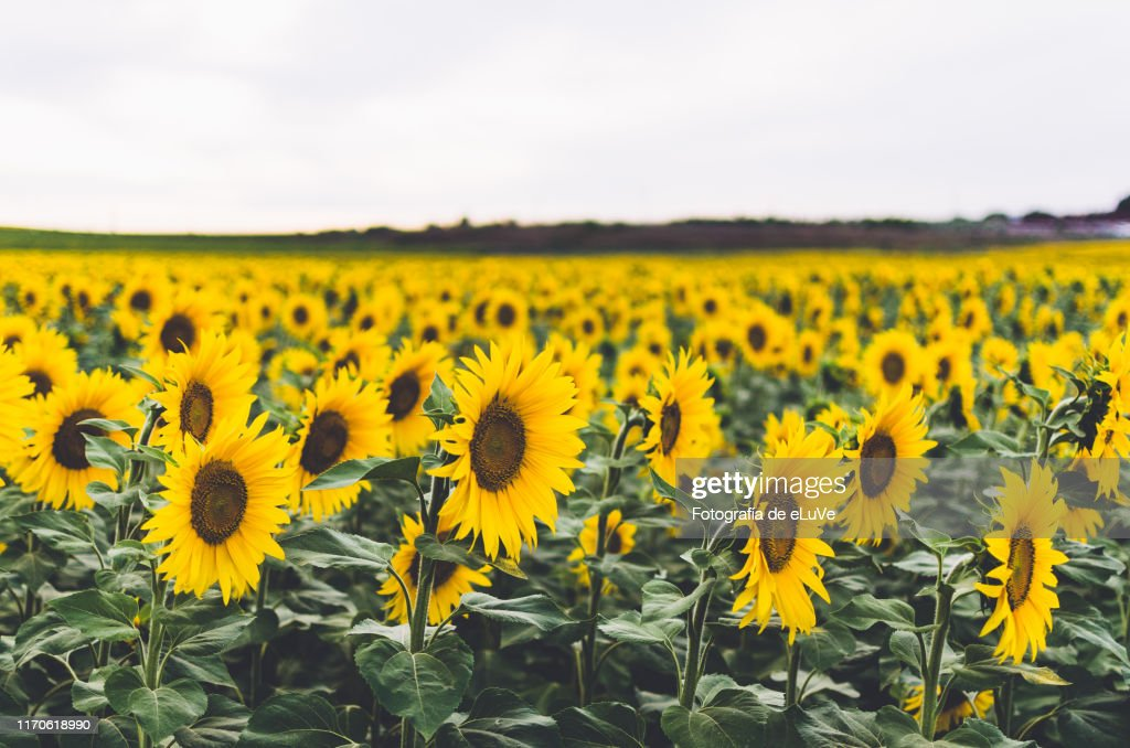 Scenic View Of Sunflower Field Against White Background : Foto de stock