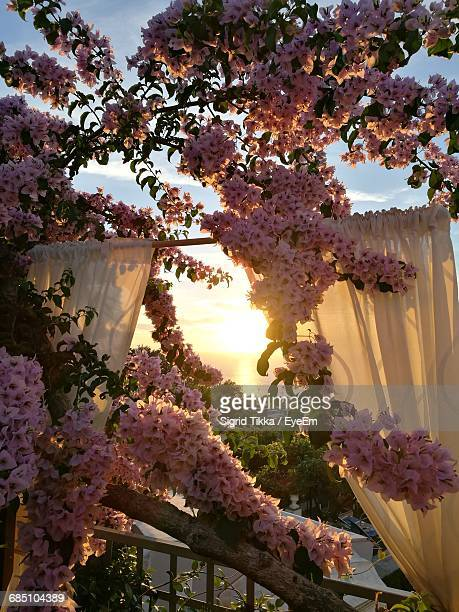 Scenic View Of Sunset Seen Through Cherry Blossom Tree At Balcony