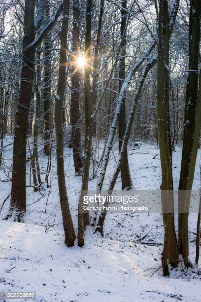 scenic view of trees in a forest under snow - hainaut stock pictures, royalty-free photos & images