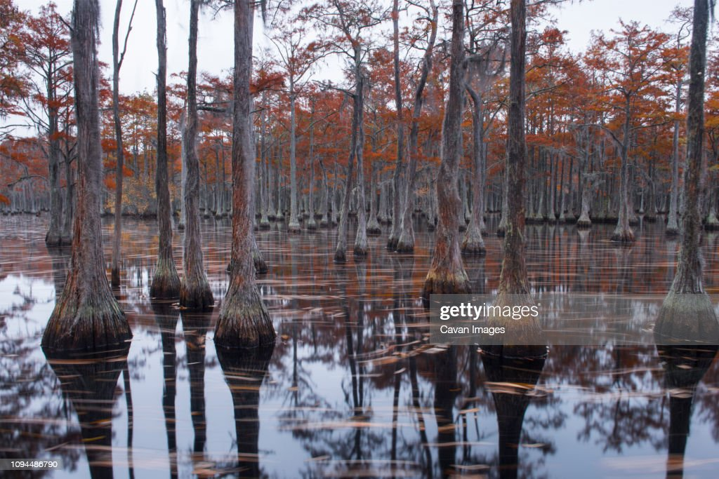 Scenic view of trees in Cypress Lake at forest : Stock Photo