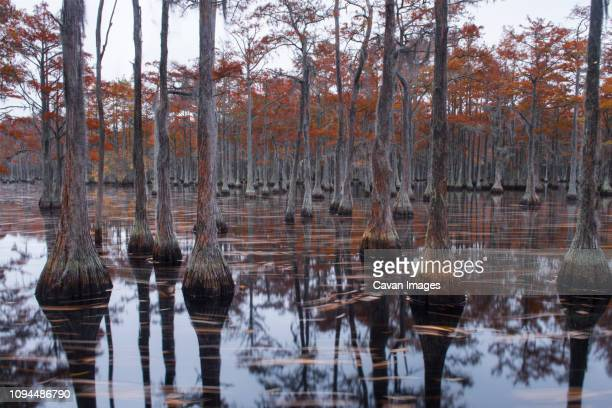scenic view of trees in cypress lake at forest - cypress swamp stock photos and pictures