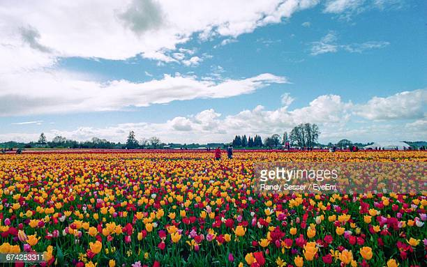 Scenic View Of Tulip Field Against Sky