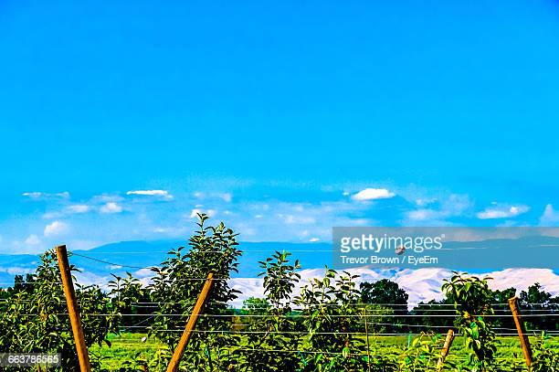 Scenic View Of Vineyard Against Blue Sky On Sunny Day